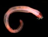 acornworm